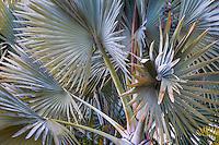 Bismarck Palm (Bismarckia nobilis), silver gray foliage small tropical palm tree in Southern California garden