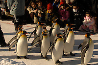 Penguins on parade at isolated Asahiyama Zoo in freezing Hokkaido prefecture in northern Japan. The  visitor numbers have increased ten fold to 3 million in the past few years since the introdution of the parade and other interactive facilities. Only Ueno Zoo in Central Tokyo has  more visitors.  The penguins take a long walk along at ice track that takes about 30 minutes twice a day.