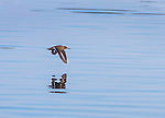 Immature Coopers Hawk in flight over water.