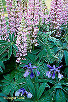 HB05-182x  English Cottage Garden - bearded iris, lupines -  Iris spp., Lupinus spp.