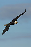 A bald eagle flying at Kachemak Bay in Homer, Alaska.