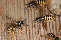 Sächsische Wespe, Kleine Hornisse, Dolichovespula saxonica, Vespula saxonica, Saxon wasp, Faltenwespen, Papierwespe, Papierwesen, Vespidae