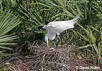 0310-0835  Great Egret Tending Eggs in Nest, Displaying Breeding Plumage, Ardea alba © David Kuhn/Dwight Kuhn Photography