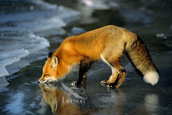Red fox (Vulpes vulpes) drinking melt water on top of frozen lake, November.