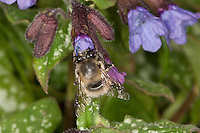 Gemeine Pelzbiene, Pelz-Biene, Frühlings-Pelzbiene, Frühlingspelzbiene, Männchen, Anthophora acervorum, Anthophora plumipes, Blütenbesuch an Lungenkraut, Nektarsuche, Bestäubung, common Central European flower bee