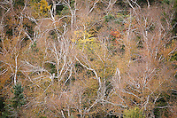 Birch trees have lost most of their leaves while maples retain their color during the peak of fall foliage atop 3254-foot Crane Mountain in Adirondack Park near Johnsburg, NY.<br /> <br /> © Michael Forster Rothbart<br /> www.mfrphoto.com <br /> 607-267-4893 o 607-432-5984<br /> 5 Draper St, Oneonta, NY 13820<br /> 86 Three Mile Pond Rd, Vassalboro, ME 04989<br /> info@mfrphoto.com<br /> Photo by: Michael Forster Rothbart<br /> Date: 9/2010    File#:  Canon 5D digital camera frame 70706.<br /> ----------<br /> Original caption:<br /> The sun rises over 3254-foot Crane Mountain in Adirondack Park near Johnsburg, NY. The peak is offers distant views of Vermont's Green Mountains, Lake George, Blue, Speculator, Snowy mountains and the Adirondack High Peaks, as well as nearby Garnet Lake and Little Pond. Birch and maple trees, moss and lichen near the peak turn colorful during the peak of fall foliage.
