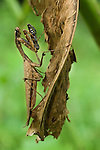 Dead-leaf Mimic Mantis (Deroplatys dessicata) lying in ambush amongst shrivelled leaves. Lowland rainforest, Danum Valley, Sabah, Borneo