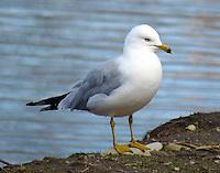 Ring-billed gull in April