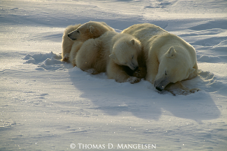 A mother polar bear rests  with her two cubs in the snow in Churchill, Manitoba, Canada.