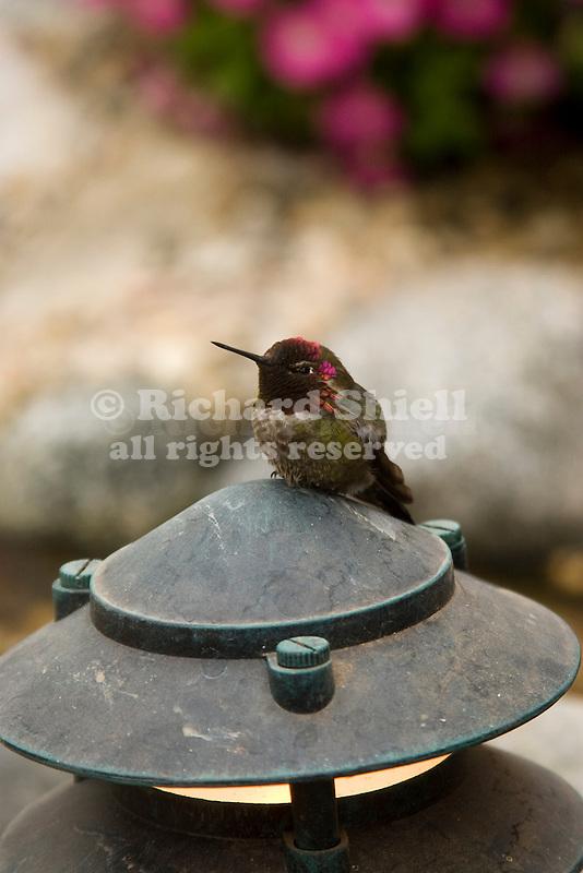 MALE ANNA'S HUMMINGBIRD PERCHED ON LANDSCAPE LIGHT, CALYPTE ANNA