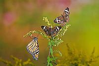 Common Buckeye (Junonia coenia) and Monarch butterfly (Danaus plexippus)  on goldenrod. The bold eyespots serve to startle or distract predators to allow a quick escape.  Autumn. Ontario, Canada.