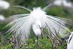 Great egret displaying breeding plummage