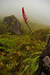 Sur les pentes ouest de la Montagne Pelée (1395 m).Les couleurs rouges des fleurs de l'ananas montagne  jalonnent la montée vers la caldeira de la Montagne pelée.
