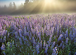 Redwood National Park, CA: Ground fog illuminated by morning sun on the edge of a field of bigleaf lupine (Lupinus polyphyllus) in the Bald Hills