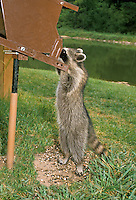Raccoon, Procyon lotor, adroitly handles squirrel proof bird feeder for seeds,