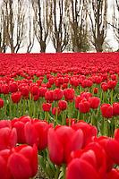 Agriculture, farm field of red tulip (tulipa bulb) flowers (Washington Bulb Company) during spring Tulip Festival, Skagit Valley Washington