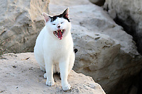 """Stock image of cute white yawning cat standing on rocks.<br /> <br /> This image is also available in monochrome. View the gallery-""""Black & White Fine Art Images""""."""