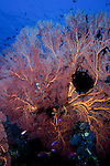 Milne Bay, Papua New Guinea; Soft Coral Sea Fan , Copyright © Matthew Meier, matthewmeierphoto.com