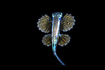 Black Water Diving; Jellyfish; Plankton; larval crustaceans; larval fish; marine behavior; pelagic creatures; pelagic larval marine life; plankton creatures; underwater marine life; vertical migration marine creatures