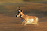 Pronghorn Antelope buck running through fall tinged grass.  Western U.S., Oct.