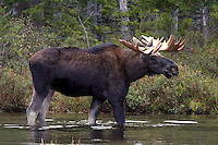 Bull Moose Standing in Pond  #M26