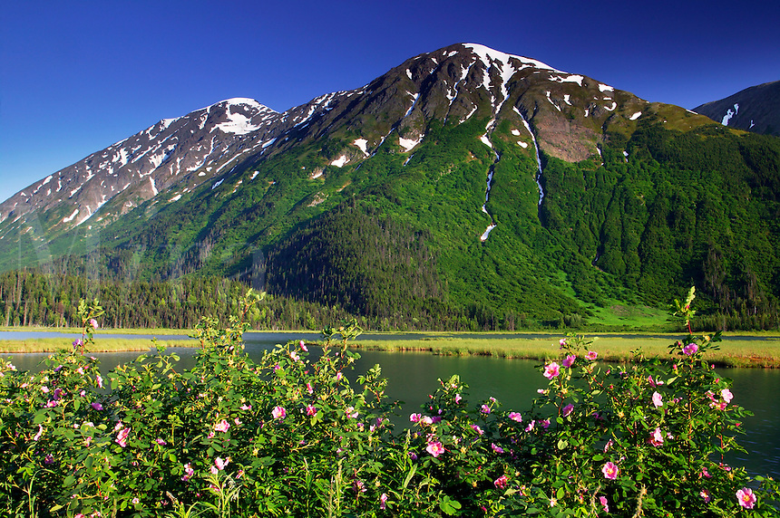 Prickly Rose (Rosa acicularis) Tern Lake along the Seward Highway on Kenai Peninsula and the Chugach National Forest, Alaska