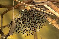 FR19-020c  Wood Frog - eggs developing - Lithobates sylvaticus, formerly Rana sylvatica