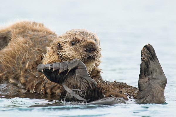 Sea Otter (Enhydra lutris) pup riding on mom's tummy.