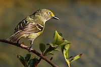 A small and secretive bird of shrubby areas of the eastern and southern United States, the White-eyed Vireo is more noticeable for its explosive song than its looks. Watery background..