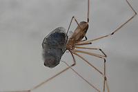 Große Zitterspinne, Zitter-Spinne, hat eine Fliege, Schmeißfliege, Brummer erbeutet und eingesponnen, an der Zimmerdecke in der Wohnung, Pholcus phalangioides, long-bodied cellar spider, longbodied cellar spider