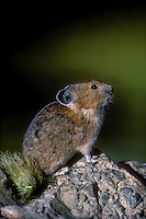 PIKA - Ochotonidae princeps - alpine resident that neither hibernates nor migrates .  Stores dried plants inside rock pile for winter food.  Cascade Mountains. British Columbia, Canada.