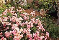 Rose 'Smarty' (shrub rose)