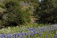 Bluebonnets (Lupinus texensis) and White Prickly Poppy wildflowers paint running hills in the Texas Hill Country near Pontotoc, Texas, USA