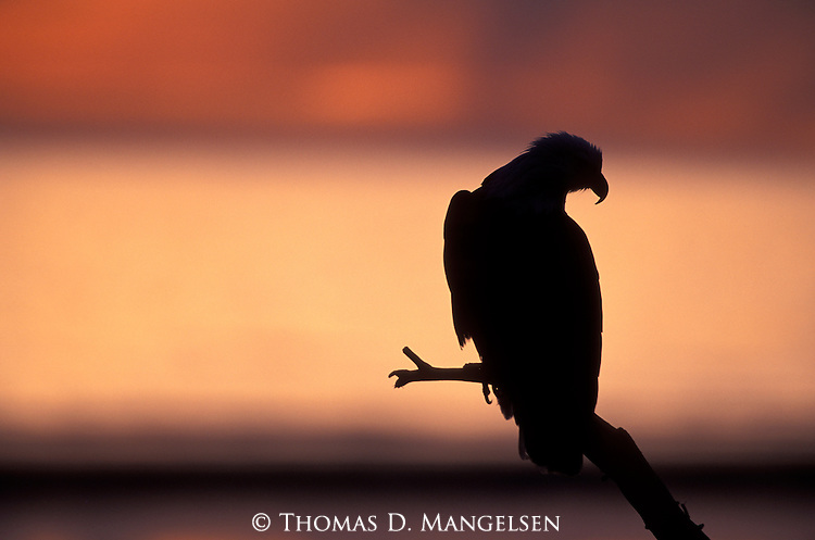 A silhouette of a bald eagle perched on a driftwood branch in Southeast Alaska.