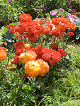 Ranunculus mix
