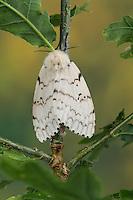 Schwammspinner, Schwamm-Spinner, Weibchen, Lymantria dispar, gipsy moth, Gypsy Moth, female, Bombyx disparate, Trägspinner, Lymantriidae