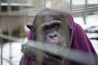Chimp, Nakima venture into the snow all wrapped up, at the Ape and Monkey Santuary near Coelbren in the Swansea Valley in South Wales.