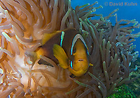0320-1106  Clark's anemonefish (Yellowtail clownfish), Amphiprion clarkii, with Bulb-tipped Anemone, Entacmaea quadricolor  © David Kuhn/Dwight Kuhn Photography.