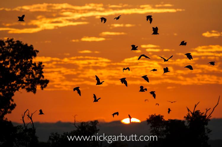 Straw-coloured Fruit Bats (Eidolon helvum) returning to their daytime roost at dawn (sunrise). Kasanka National Park, Zambia.