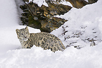 Snow Leopard watching from a steep and snowy hill side - CA