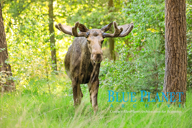 Eurasian elk or moose (Alces alces) bull in velvet, state game reserve, Germany, Europe