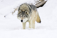 Grey Wolf walking through the snow and watching intently - CA