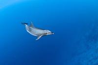 Bottlenose Dolphins, Tursiops truncatus, dive site Tiputa pass, Rangiroa Atoll, Tuamotu Archipelago, French Polynesia, Pacific Ocean