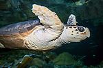 Loggerhead sea turtle swiming right, medium shot