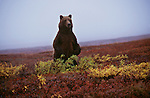 A grizzly bear stands on its hind legs surveying the tundra in Denali National Park, Alaska.