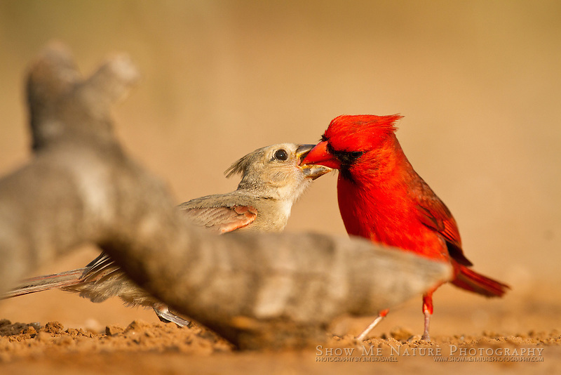 Male Northern Cardinal feeding a young Cardinal