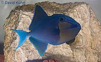 1103-0902  Niger triggerfish, Odonus niger  © David Kuhn/Dwight Kuhn Photography