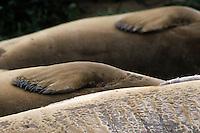 Zeeolifant (Mirounga angustirostris)