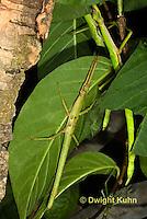 OR07-574z  Jamaica Stick-Insect, Aplopus jamaicensis, Jamaica