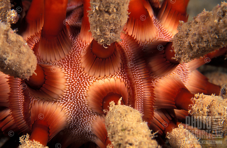 A close up view of the spines of a Rough-spinded Sea Urchin (Chondrocidaris gigantea ).